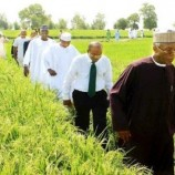 Kano rice production increases to 3m tonnes