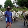 Banditry: Zamfara orders animal sellers to take pictures with animals