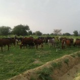 Security agents chase, destroy bandits' camp in Katsina, recover rustled animals