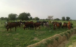 Herder, 73 cows, 13 sheep in police net for 'farm destruction'