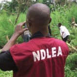NDLEA Seizes 10.5tons of Indian hemp in Maiduguri