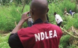 NDLEA: Marijuana most commonly abused drug in Gombe